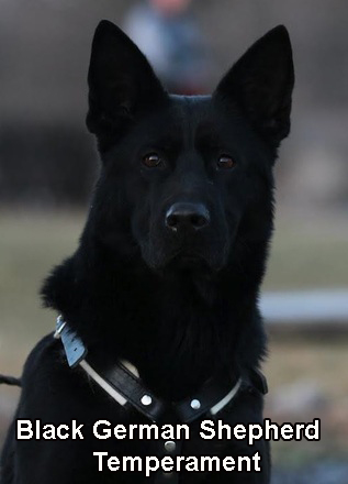 Black German Shepherd Temperament