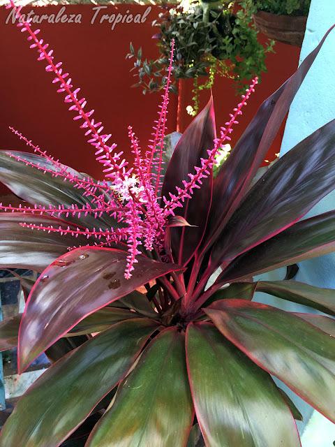 La Polinesia, Cordyline fruticosa o Cordyline terminalis