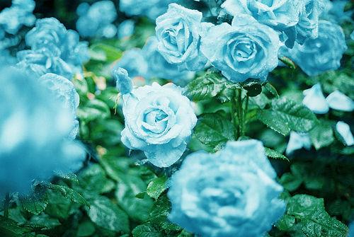 http://2.bp.blogspot.com/-axg9l8k95I8/VZyfZcBtE-I/AAAAAAAABOU/Bz5XRbey6g0/s1600/blue-flower-flowers-33624126-500-335.jpg