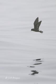Paiño europeo, Hydrobates pelagicus, European Storm Petrel