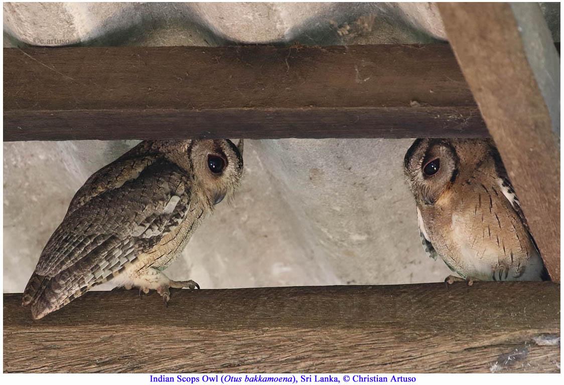 Christian Artuso: Birds, Wildlife - photo#28