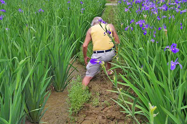 Ryukyu Mike, leg slips off paddy dike in iris fields
