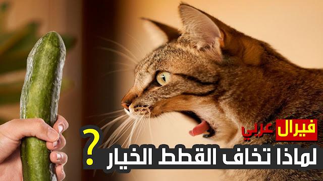 """شاهد   لماذا تخاف القطط الخيار ؟ """" القطط خائفة من الخيار """""""