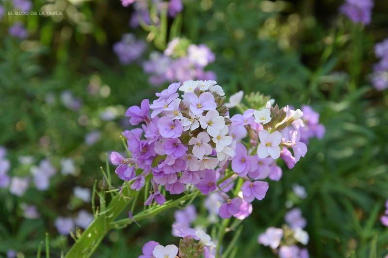 Erysimum scoparium (alhelí del Teide)