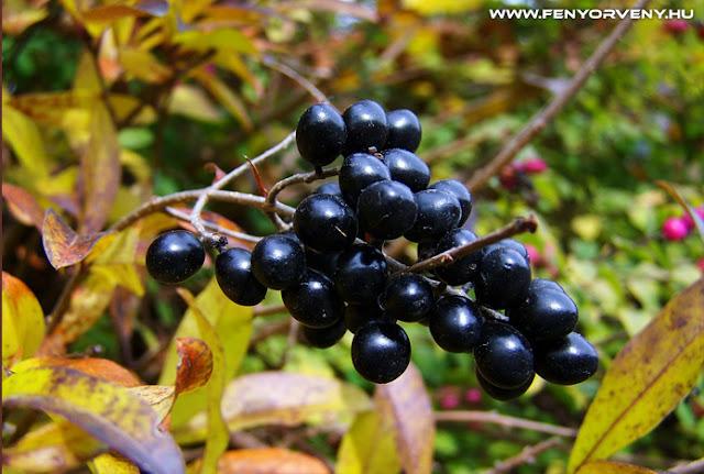 Fekete berkenye – az egészség bogyója