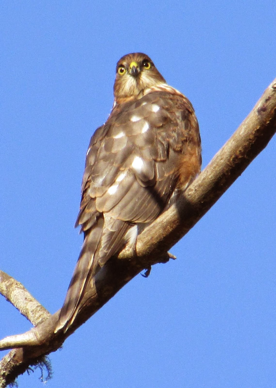 And Yes The Sharp Shined Hawk Makes A Couple Of Forays