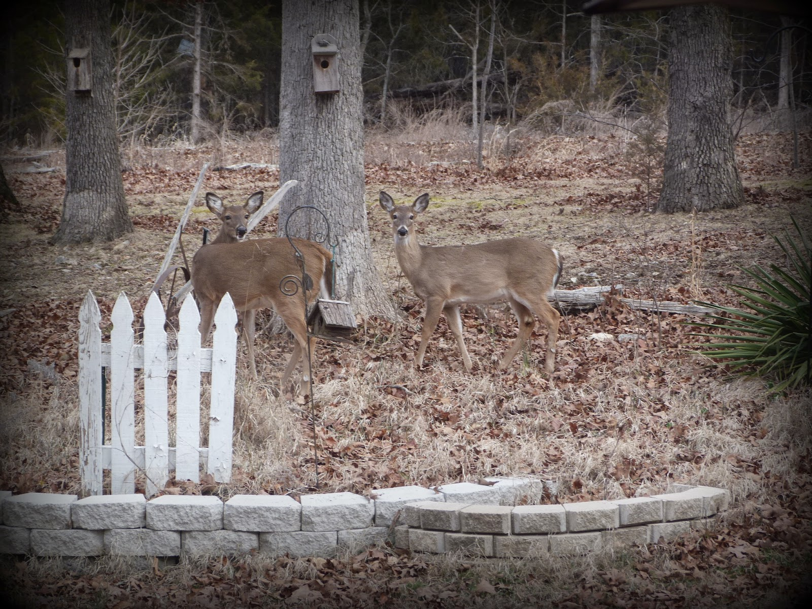 CHMusings: Deer in the garden