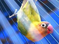 Mengatasi Burung Lovebrid Ngeruji