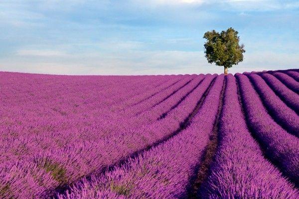 cánh đồng hoa oải hương đẹp nhất thế giới 30
