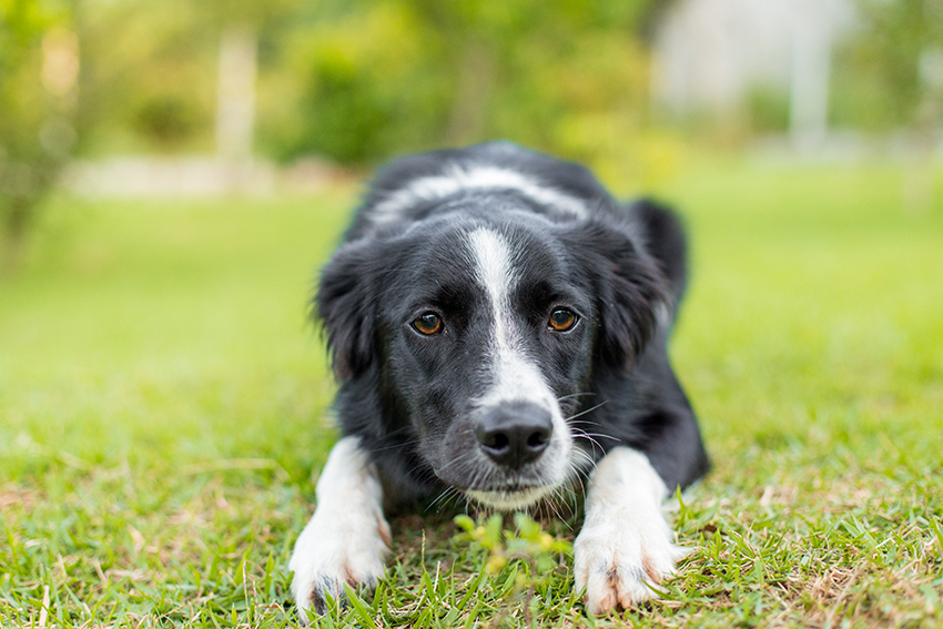 Border collie Nina