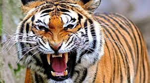 Heboh, Harimau Masuk Kepemukiman Warga Kayuagung