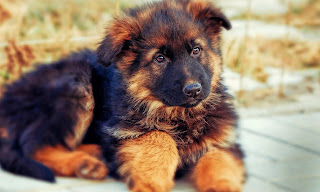 german shepherd puppy wallpaper