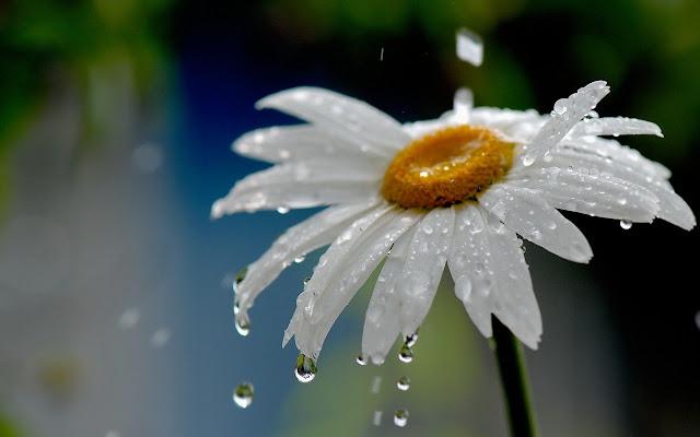 share bo anh background hoa cuc trang cuc dep