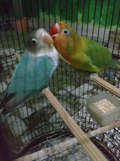 Cara Menjodohkan Lovebird Beda Umur Agar Cepat Jodoh