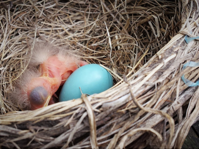 just hatched baby robin