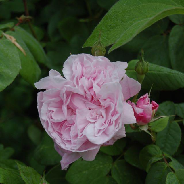 Roos 'Fantin Latour'