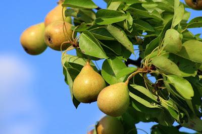 Jasa Tukang taman Surabaya Pohon Buah tidak tinggi buah