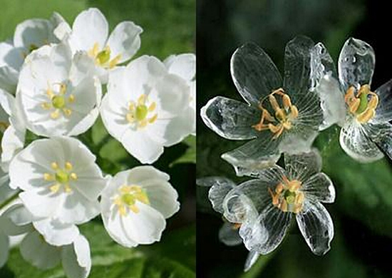 Flor esqueleto - flor de pétalas de vidro - Diphylleia grayi - molhada e seca
