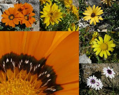Postberg daisies 2014 Gazania, Didelta carnosa var. tomentosa, ? ? Gazania, Dimorphotheca pluvialis
