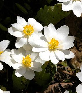 Bloodroot Sanguinaria canadensis blooms