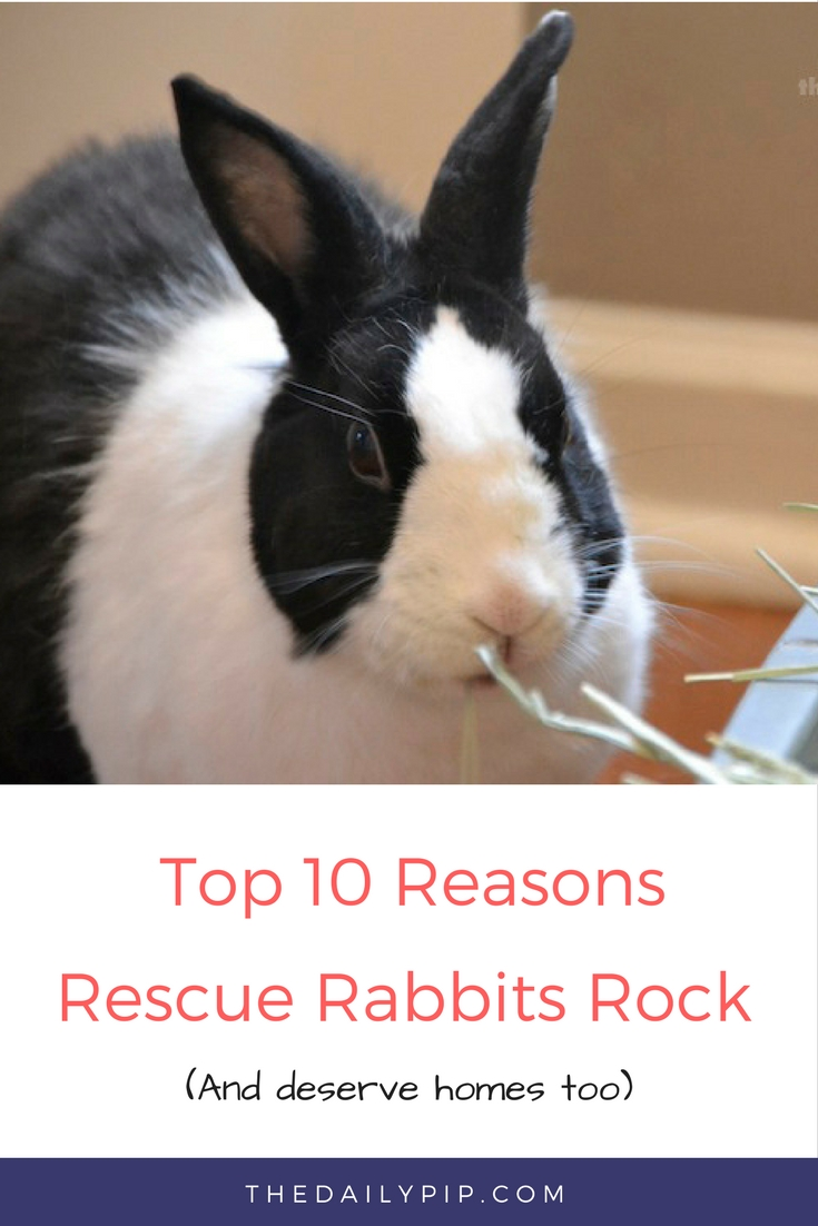 The Top 10 Reasons rescue rabbits rock and need homes too