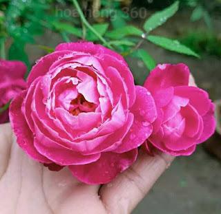 hoa hồng cổ huế