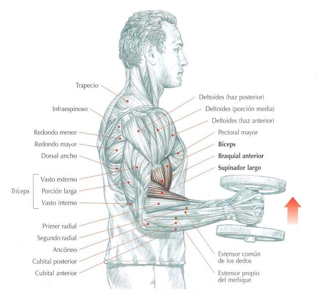 Curl de bíceps con mancuernas tipo martillo, demostración | Rane Forti