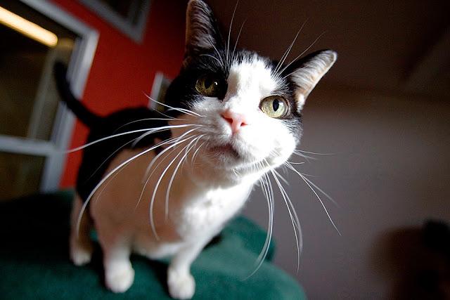 Para que serve o bigode dos gatos?