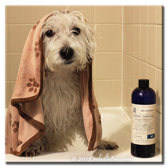 Wet West Highland Terrier with Dr. Harvey's Herbal Shampoo