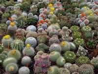 Çeşitli şekillerde çiçekli ve çiçeksiz kaktüs çeşitleri bir arada