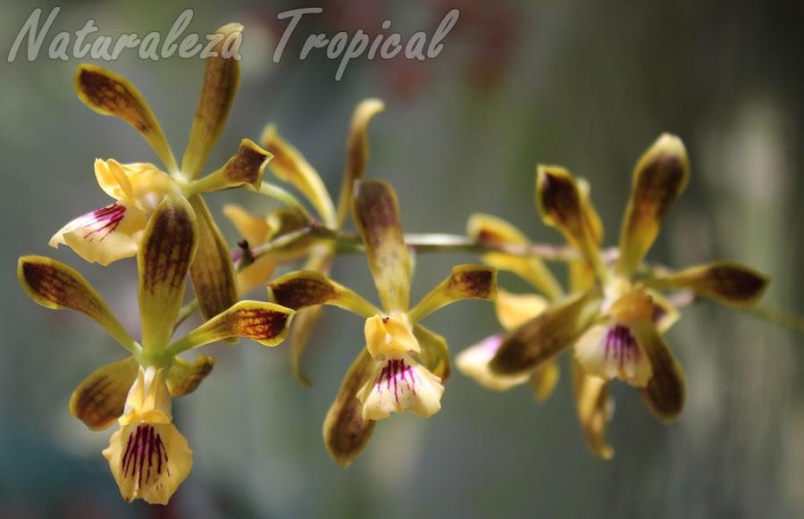 Otra foto de las flores de la orquídea Encyclia bocourtii