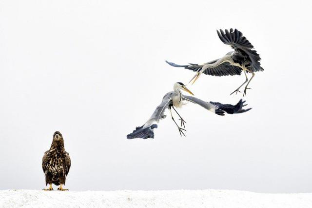 Một chú đại bàng hói đang làm khán giả cho cuộc chiến giữa hai con chim diệc. AmyPrint