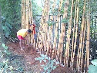 jual rumpun bambu kuning panda | tanaman hias untuk taman rumah dan gedung