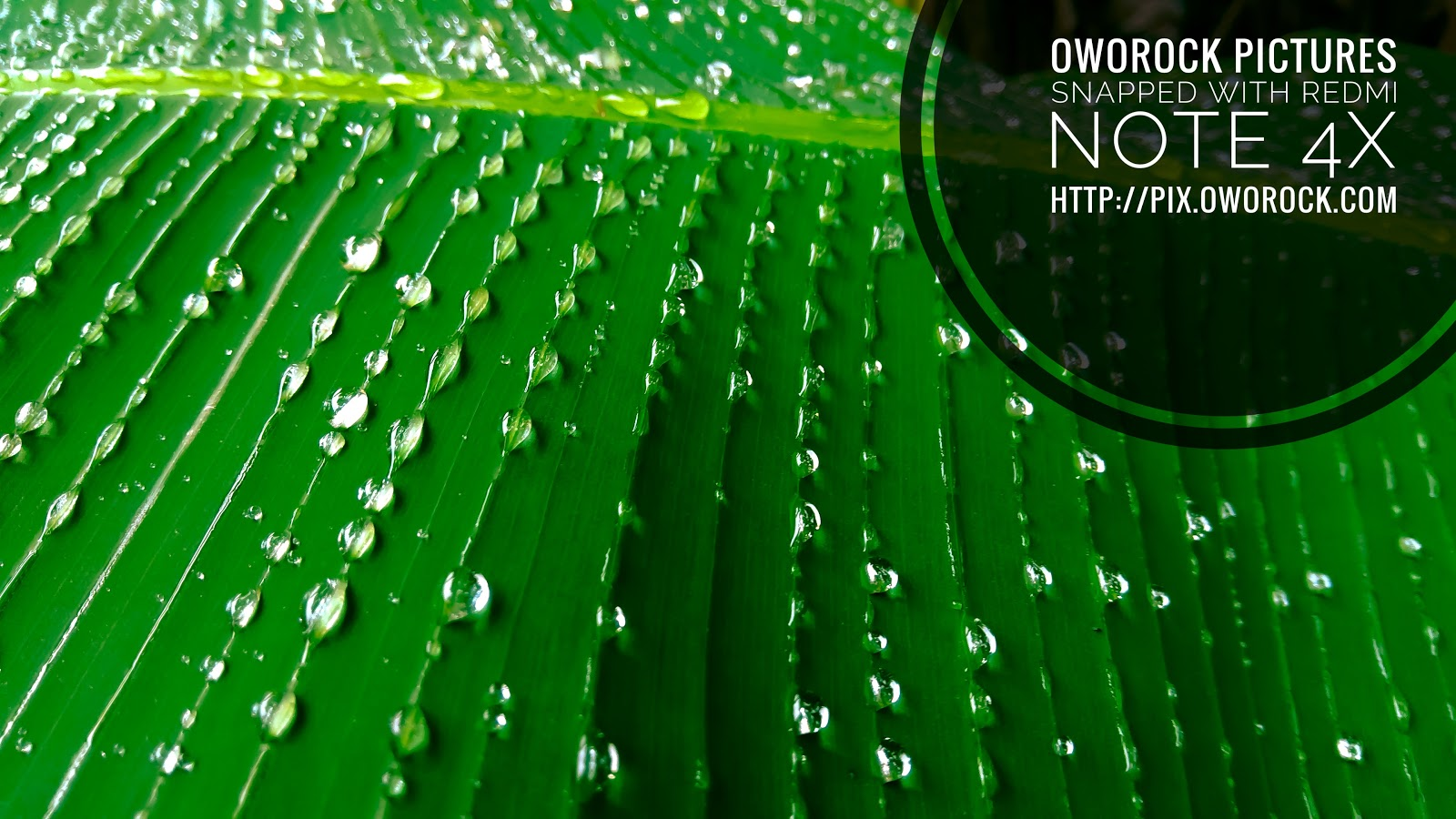 Drop of rain water on a plantain leaf, banana leaf