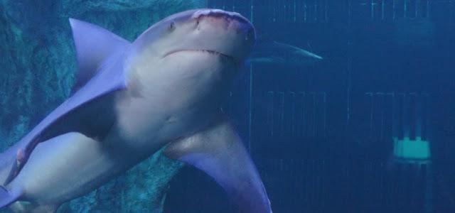 Nadar com os tubarões no Interactive Aquarium em Cancún