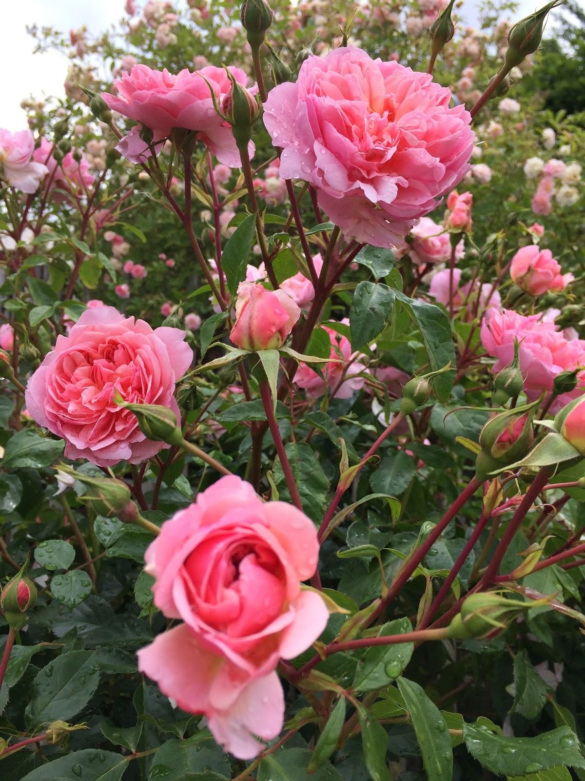 La Passion Des Rosiers A La Pepiniere Fil Roses 2017