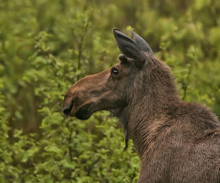 Moose in Newfoundland