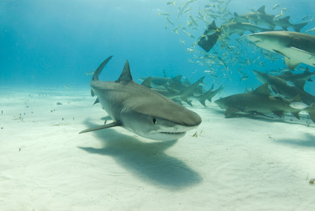 pack of tiger shark