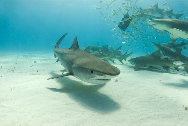 the description of tiger sharks Types of sharks like the great white shark, tiger shark, whale shark, bull shark, hammerhead shark, goblin shark, mako shark, and many more read more .