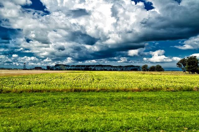 Campo de Sembradío de girasoles al sol y nubes.