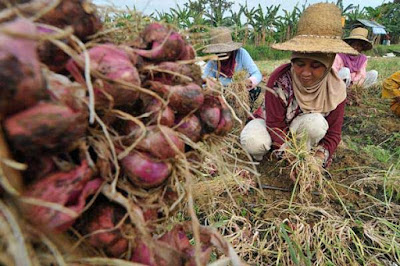 Ditaksir Kerugian Petani Bawang Merah Sebesar 2Triliun