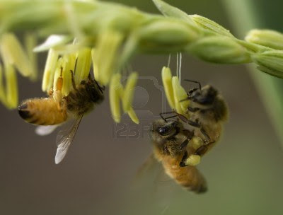 FOTOGRAFIAS DE ABEJAS EN FLORES - PHOTOGRAPHS OF BEES IN FLOWERS.