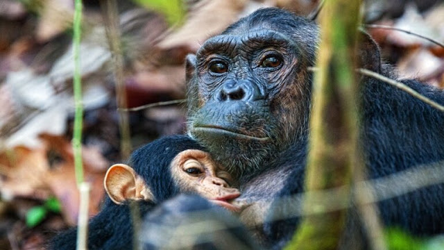 Chimpanzee brain organoids hint at secrets of human evolution
