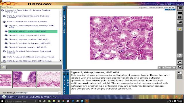 Corte de riñon humano teñido con HE, aumento x450.