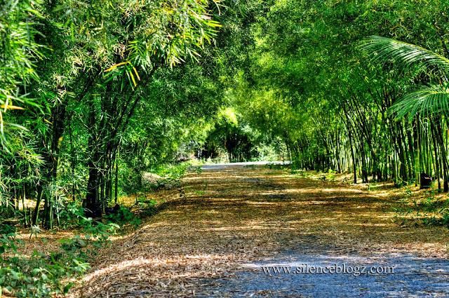 kebun buluh di Banghuris Homestay