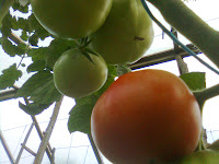 tomate ghittia la solar productive