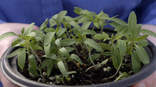 Damping-off in Young Seedlings