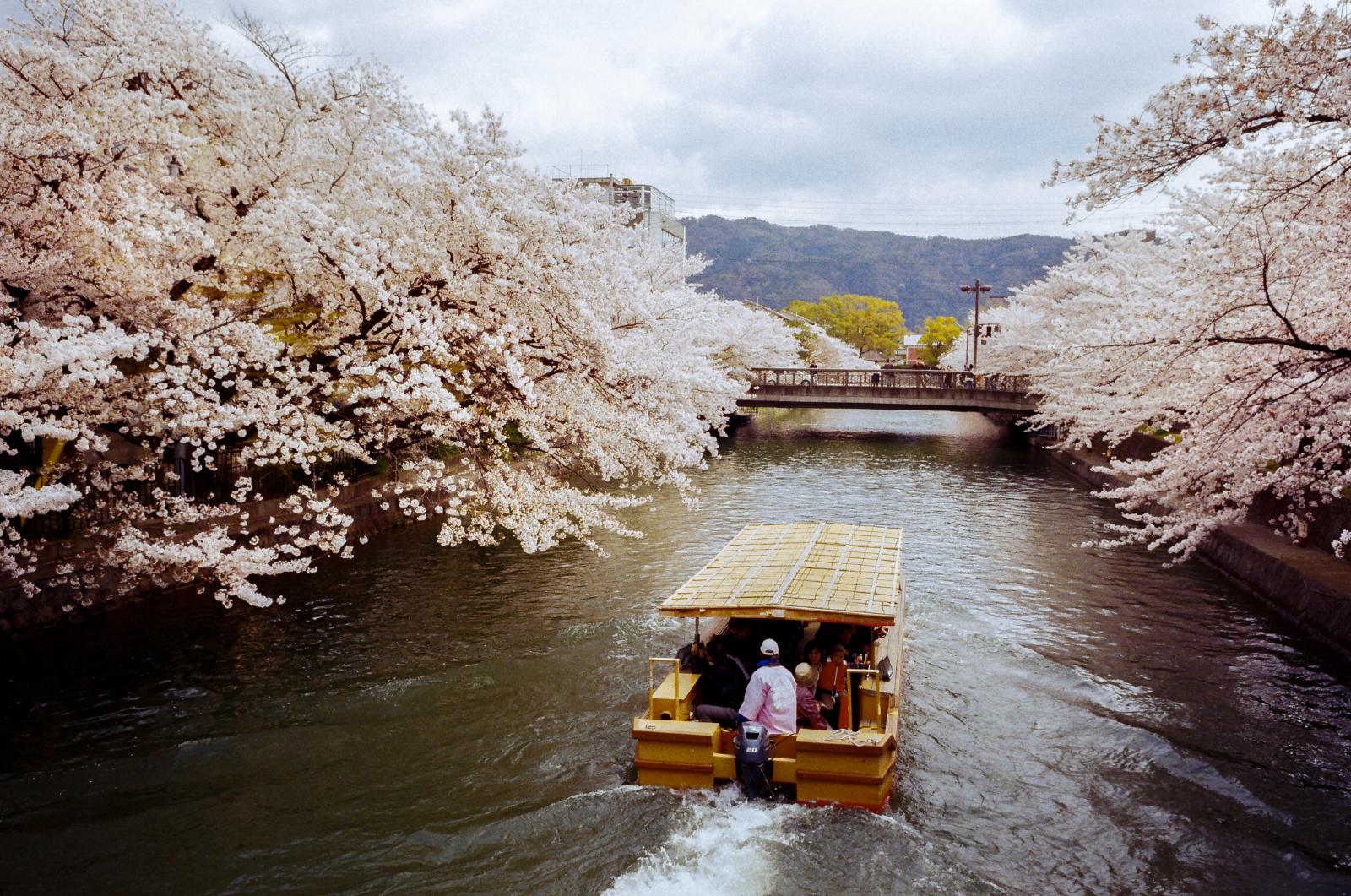 「白川和琵琶湖疏水通」京都 | 櫻花祭 | 攝影集