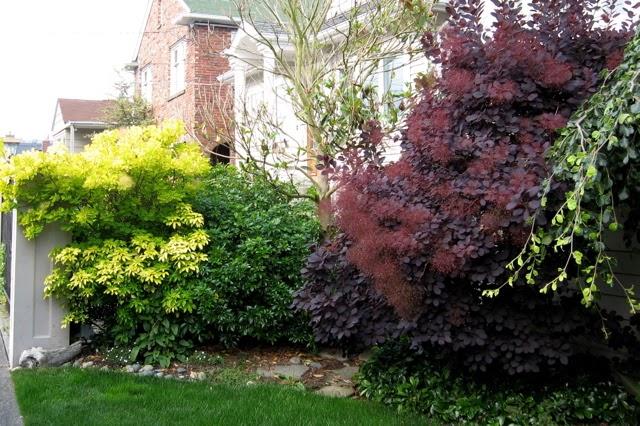 Seattle Garden Ideas More Smoke Trees