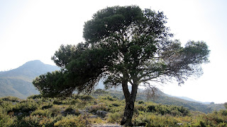 Pi del Corral de Foquio, Mondúver